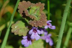 Ground Ivy For Ailments Old And New