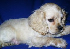 precious cocker spaniel puppy :) Oh my goodness gracious...Harley needs a sibling!