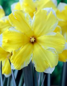 150 best flowers daffodils images on pinterest daffodils 10 types of daffodils youll want in your garden this spring mightylinksfo