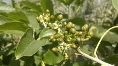 white sapote flowers and fruit