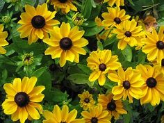 kesäpäivänhattu - Rudbeckia hirta var. pulcherrima Cut Flowers, Daisy, Garden, Plants, Garten, Margarita Flower, Lawn And Garden, Daisies, Gardens