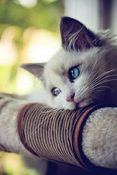 Blue Eye Cat missing special one