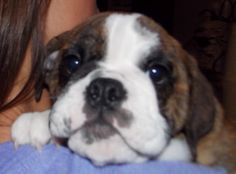 Gwen is a brindle female English Bulldog Puppy selling for $2200. For more information call/text Adele at 303-653-1437.