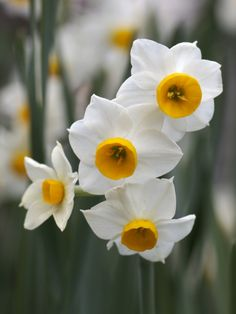 Narcissus - Chabana for November - February