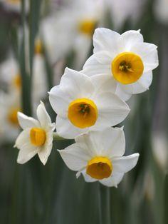 Narcissus - Chabana for November - February