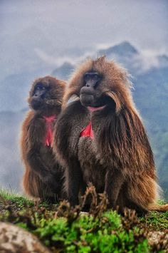 Simien Mtns | por Rod Waddington, Gelada Baboons, Simien Mts, Ethiopia
