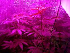 LED grow lightsNoHPS Marijuanamedical cannabishemp# :how to grow hemp at home 6