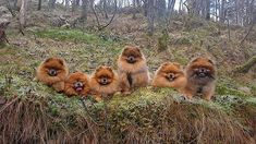Having so much fun together in the forest today  #divinepoms #outdoor #ekstremturglede #godmorgennorge #happyface #supercute #verdensbeste #doginnature #dogscorner #hundenorge #dogsofinsta #activedog #pet_featuring #dogsofinstaworld #pomeranianworld #petsoriginal #lovethemall #mybreedrocks #paws #thedailypompom #mypetmonster