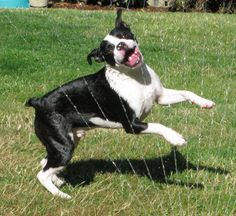 This is not my sugar but My Boston Terrier Sugar loves the sprinkler and she does flips in it and when she sees the hose is on you can't keep her out of it.  Quite unusual for a dog to love being sprayed but my Sugar does.  You gotta love Bostons.  No dog like them.