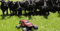 Cows Chase An RC Car. This is funny. So typical cows; so curious but still the biggest cowards