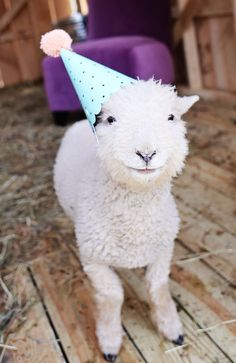 You haven't seen adorable until you've seen a lamb in a party hat Cute Creatures, Beautiful Creatures, Animals Beautiful, Farm Animals, Funny Animals, Cute Animals, Animal Puns, Lila Party, Sheep And Lamb
