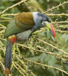 Grey-breasted Mountain-toucan (Andigena hypoglauca) Juvenile.