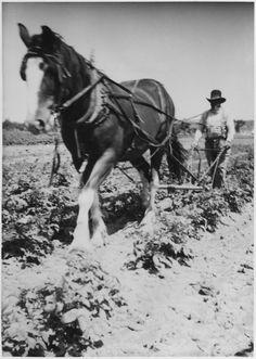 Horse pulling plow hard-held by man Farm With Animals, Animals And Pets, Old Pictures, Old Photos, Farm Pictures, Vintage Photographs, Vintage Images, Farm Images, Big Horses