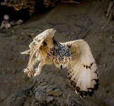 Protective Mother - a mother Pharaoh Eagle Owl launching from the nest with her angry eyes and an offensive move to protect her hatching owlets. Owl Photos, Owl Pictures, Nocturnal Animals, Nature Animals, Owl Bird, Pet Birds, Angry Birds, Beautiful Owl, Animals Beautiful