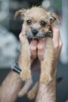 tiny border terrier puppy.