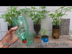 You will learn to make it simple and easy Bottle Garden Self Watering Pop - Celery you got to see this, reusing and reusing disposable packaging, make a more. Mint Plants, Water Plants, Garden Plants, Self Watering Containers, Self Watering Planter, Vertikal Garden, Growing Tomatoes In Containers, Grow Tomatoes, Dried Tomatoes