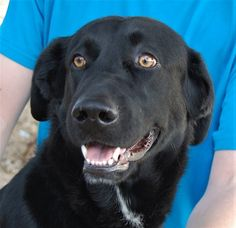 Darius Hopeful youngster, Labrador Retriever mix, neutered boy, 1 year.  Darius is joyful and full of enormous loving potential.  He is housetrained & crate-trained.  He survived severe deprivation in his previous home.  Please give him an exceptionally steady lifestyle routine so that he knows he will never go without food or attention for long periods of time again.