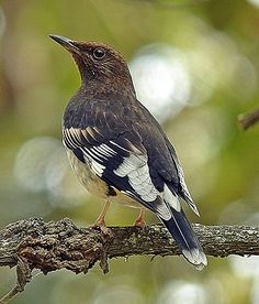 The splendid Aztec Thrush can often be seen in good numbers on this tour (Pete Morris)