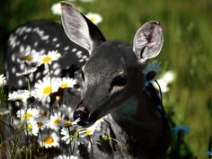 """witlovesyou: """" A very unusual genetic color variation in white-tailed deer — rarer even than albinism — produces all-black offspring in that species which are known as """"melanistic"""" or """"melanic""""..."""