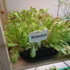 De pluksla wordt maar groter en groter!  Ideaal om het binnen te laten groeien, je plukt wat blaadjes af voor op brood of door de salade en het groeit gewoon weer door  - my lettuce is growing very fast, i love it! #sla #pluksla #lettuce #salad #myelho #elho #moestuin #floorsmoestuin #kitchengarden #vegeteblegarden #growsomethinggreen #growyourownfood #urbangarden #epicgarden #ediblegarden #potager #urbanfarmer #gardenersofinstagram #groentetuin #jardinpotager #growyourownveggies