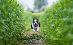 Boston Terrier running through rye field by Tereza Jancikova