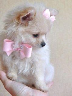 pretty pink bow tie looks perfect for a pretty pomeranian! :) #pomeranian #dogs
