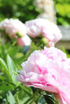 Pfingstrosen verschönern den Garten mit ihrer Blütenpracht
