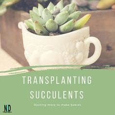 Time for transplanting succulents that I have taken indoors for the winter months. The succulents need some breathing room and fresh, clean soil. Transplant Succulents, Nikki Lynn, Nectar Recipe, Types Of Knives, Specialty Knives, Planting, Gardening, Geraniums, Bird Feeders