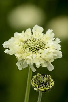 Cephalaria gigantea is a pale yellow relation of the scabious family, with flowers of twice the size on stems of twice the height.