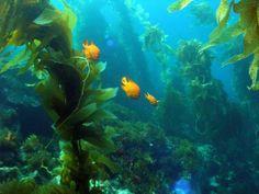 Kelp Forest | Kelp Forest with Garibaldi | Seaweed