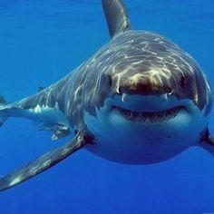 ¿Sabías que los tiburones pierden dientes todas las semanas? Siempre tienen dientes nuevos para reemplazar los que se han caído. Llegan a nacer unos 20.000 dientes a lo largo de su vida. #BigSmile