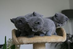 British Shorthair Kittens, Cattery De Passievrucht, The Netherlands