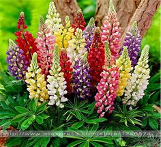 Rainbow-Lupine-Flower-Seeds-Ornamental-flowers-99-Germination-Free-shipping/32398861668.html