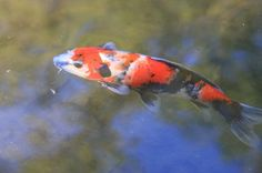 Koi Fish In A Pond Of A Beautiful