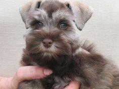 Gorgeous schnauzer puppy at Hello Schnauzer puppy breeder in Louisiana!