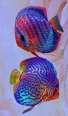 Discus  fish from the Amazon