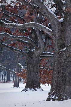 Massive oak trees at the Morton Arboretum, Lisle, Illinois, US