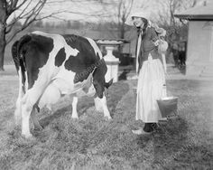 Dutch Girl Preparing To Milk Cow Viintage 8x10 Reprint Of Old Photo
