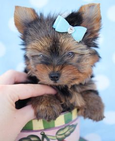 Toy Yorkie Puppies by TeaCups, Puppies & Boutique
