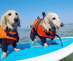 SUP with a dogs  可愛すぎますね 愛犬と沖縄の海でSUPしたいそんなご要望がございましたらシーナサーフにお問い合わせくださいね #seanasurf #bulecave #surfingschool #沖縄#恩納村#sup#dog#dogstagram #supdog#かわいい#みにちゅあだっくすふんど #ライフジャケット#犬用#alphaicon