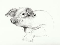 pencil drawing of pig - Google zoeken