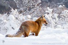 Red Fox in Snow World by thrumyeye.deviantart.com on @deviantART