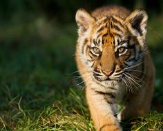 Sumatran Tiger Cubs | Flickr - Photo Sharing!