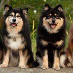 Finnish Lapphund | World of Animal