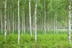 Summer Birch Forest - Wall Mural & Photo Wallpaper - Photowall