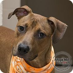 ●9•4•16 SL●Pictures of Duncan a Pit Bull Terrier/Boxer Mix for adoption in Troy, OH who…