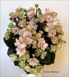 Petite Blarney (H.Pittman) 08/06/2012 (10561) Double pink/green edge. Dark green, girl foliage. Miniature.  Махровые розовые цветы с зелёной каймой. Тёмно-зелёная гёл-листва. Миниатюра.  Photo by Irina Titova
