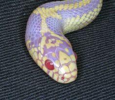Albino King Snake   Albino Striped Californian King Snake Sub-Adult