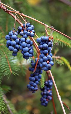 wild grapes are harvested by hand to produce Red Lake Nation Wild Grape Jelly & Syrup.