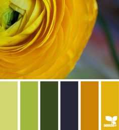 ranunculus color